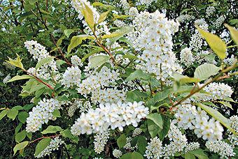 Леса, где много черемухи, ивсередине лета легко узнаваемы похарактерному горьковатому запаху. Листья черемухи, особенно сушеные, приятно пахнут миндалем.