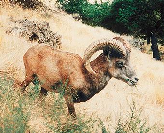 Афганский уриал в естественной среде в горах Пянжского Каратау.