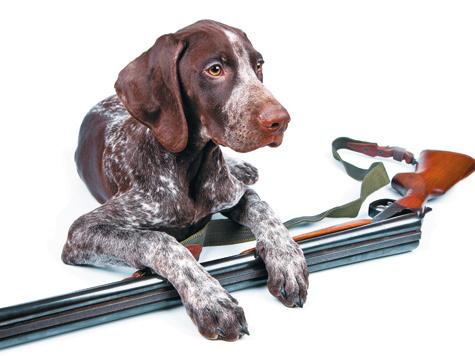 Воспитание и натаска первопольной легавой - Охотничьи собаки