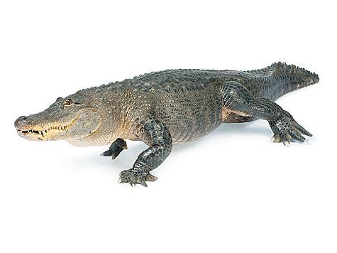 1 млн аллигаторов обитает вштате Флорида, чуть меньше— пососедству, в штате Луизиана.