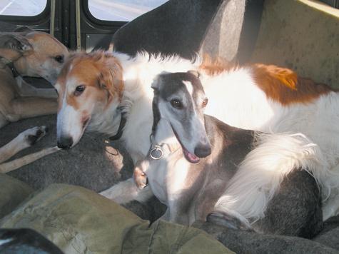 Собаки-герои. Спокойно сидят в машине и не просят ни есть, ни гулять почти сутки. Фото: Анна Шубкина