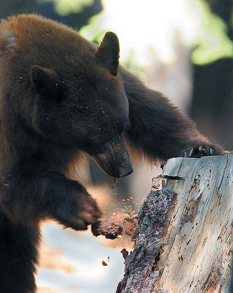 Медведи здесь бурые ичерные. Черный— это тот, который гималайский. Удэгейцы называют его белогрудкой. Автор фото:  Ron Wolf