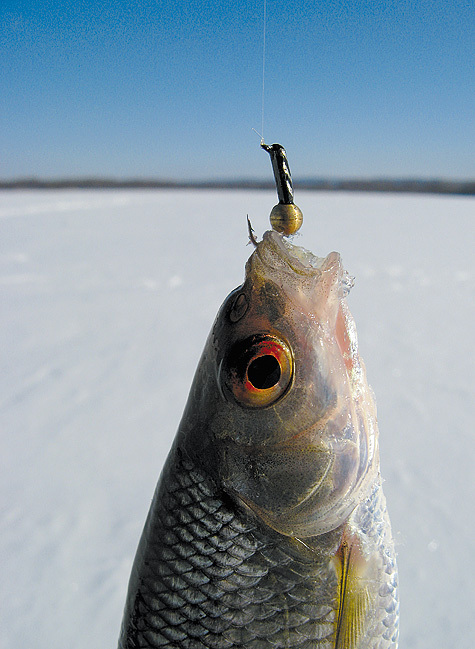 2–6 секунд — эффективная длительность паузы вигре при ловле с «гвоздешариком». Фото: Дмитрий Соколов.