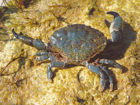 Ксанто поресса, или краб-водолюб. фото автора