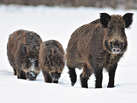 Дикие кабаны угрожают экспорту финской свинины
