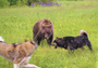 С лайками на вольного медведя