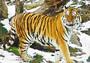 Тигр: убийство на охоте
