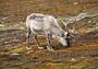 Камчатка может потерять дикого северного оленя
