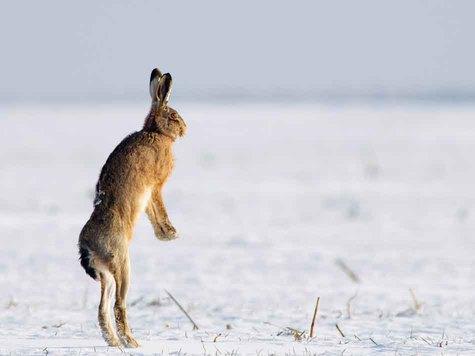 За́яц-руса́к (лат. Lepus europaeus) — млекопитающее рода зайцев отряда зайцеобразных. Относится к крупным зайцам: длина тела 57—68 см; масса 4—6 кг, редко — до 7 кг. Самые крупные особи встречаются на севере и северо-востоке ареала.