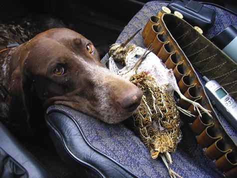 Собака должна знать в машине свое место. Даже крупная легавая легко устроится на полу автомобиля.