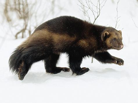 Росомаха производит впечатление существа неповоротливого, однако она лучше всех хищников передвигается поглубокому снегу иловко лазает подеревьям.