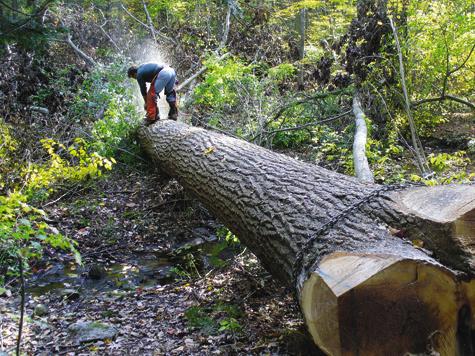 Дерево ореха, растущее вблагоприятных условиях, может достигать очень больших размеров.