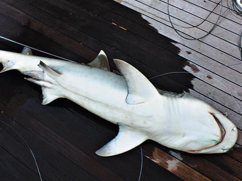 Фото автора Однажды пришлось видеть, как впорту производилась выгрузка сельдевой акулы длиной 2,5м. Она была поймана врайоне Хургады.