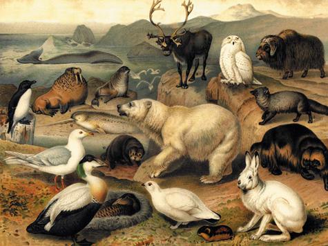 Полярные животные. Гравюра. 1915 г.