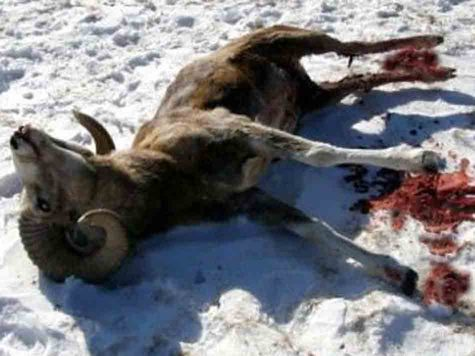 Просто интересно, какие могут быть документы, разрешающие охоту с вертолета на краснокнижных животных?Фото: fotolia.com
