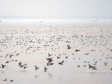 Зимующие кряквы наКрюковском водохранилище, Краснодарский край