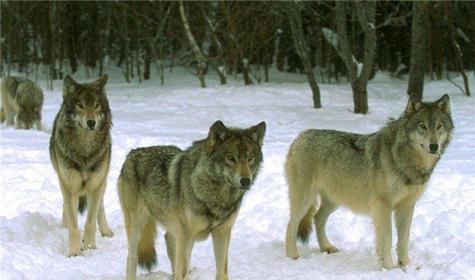 Ещё раз о волке.