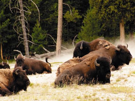 Индейцы добывали 450 тысяч бизонов в год. Для стада в десятки миллионов голов это не являлось перепромыслом.