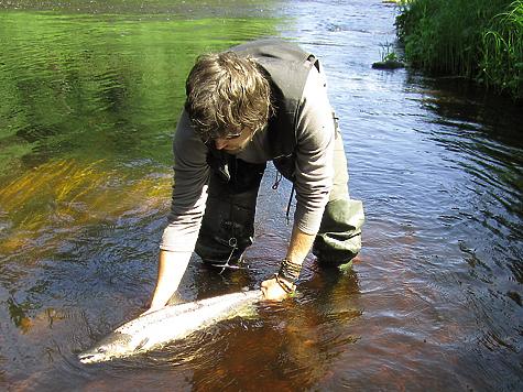 Излишки рыбы после «реанимации» отпускались в родную стихию.