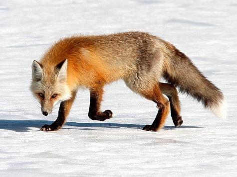 Известно, что зимою лисы, подобно прочим собачьим, охотно поедают трупы своих сородичей. Фото: Fotolia.com