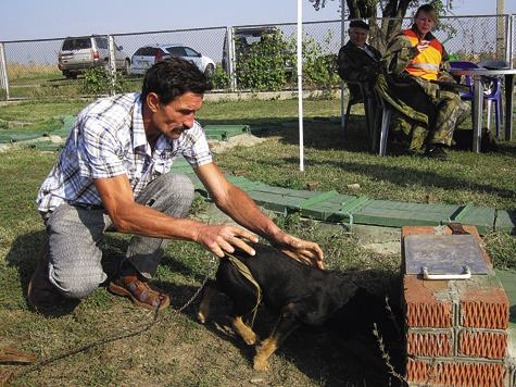 Травля лисицы вискусственной норе служит для проверки рабочих качеств собаки.
