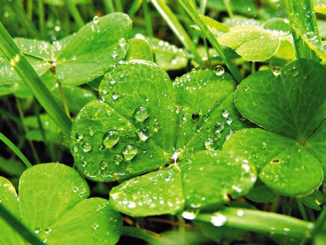 ВЕСЕННИЕ ВИТАМИНЫ.  Весной и в начале лета влесу появляются съедобные растения: кислица, сныть. Их можно есть всыром или вареном виде. Кроме того, кислица оказывает кровоостанавливающее, ранозаживляющее, желчегонное действие. Устраняет рвоту, является противоцинготным ипротивоядным средством.  Внадземной части сныти содержатся витамин С, каротин. Говорят, что Серафим Саровский провел три месяца впосту имолитве, питаясь одной снытью.