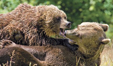 Бурые медведи заслужили репутацию каннибалов. После рождения медвежат самки избегают встреч ссамцами, чтобы ее детеныши не стали их добычей.