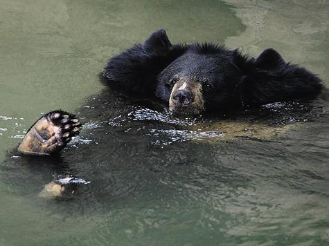 В отличие отбурого белогрудый медведь неявляется героем сказок. Впрочем, все знают Балу, воспитателя Маугли, который  был белогрудым медведем.