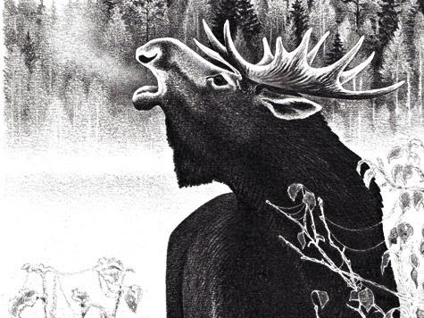 ВСредней полосе России гон лосей начинается ссередины августа, аего разгар приходится насентябрь.
