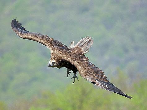 Десяти-килограммовому грифу достаточно двух-трех взмахов крыльями, чтобы взлететь. Фото автора