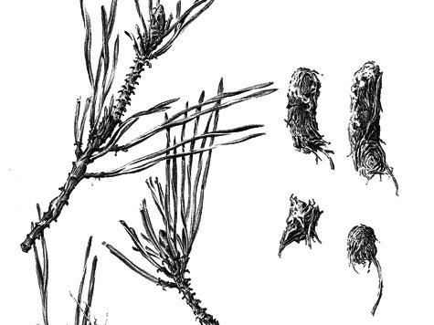 Следы кормежки самки глухаря насосне — верхушки веточек  со срезанными клювом птицы хвоинками. И помет из остатков хвои. У глухарок помет мельче, чему петухов.