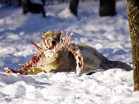 Считается, что суточная потребность волка в мясе составляет 2–3 кг.