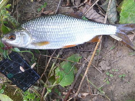 Рыба подошла на мелководье, можно поставить грузик. Фото автора.