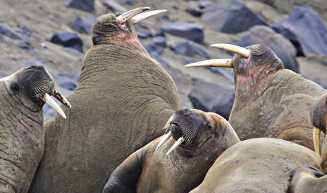 3 вида тюленей обитает в северных морях: обыкновенный тюлень, кольчатая нерпа исерый тюлень— наиболее редко встречающийся вид.