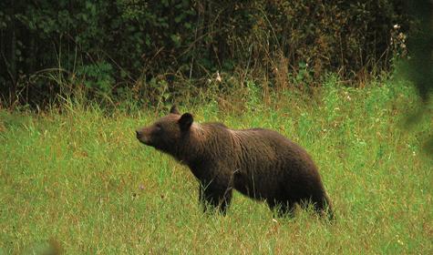 Медведь - желанный трофей Фото Андрея Федичкина