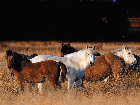 Домашние лошади, предоставленные сами себе, быстро дичают. Примером тому служат мустанги Северной Америки.