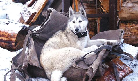 Посох был иостается великим педагогическим средством для собак. Вего присутствии они делаются мягче, покладистее икак будто значительно интеллектуальнее.