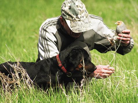При натаске молодой собаки обучение нередко начинают с помощью подсадного перепела.