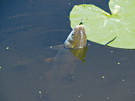 сколько ни клюет рыба когда идет паденка