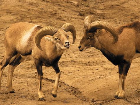 В наши дни охотиться нанекоторые подвиды муфлона можно во многих странах Западной Европы.
