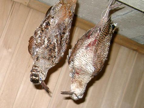 При обработке птиц дома оказалось, что вальдшнеп, выбитый из пары, оказался самкой. Фото: Моткова Владимира