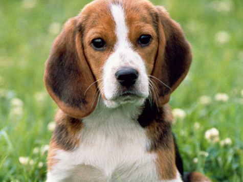 Прививки для собаки лабрадор - a644
