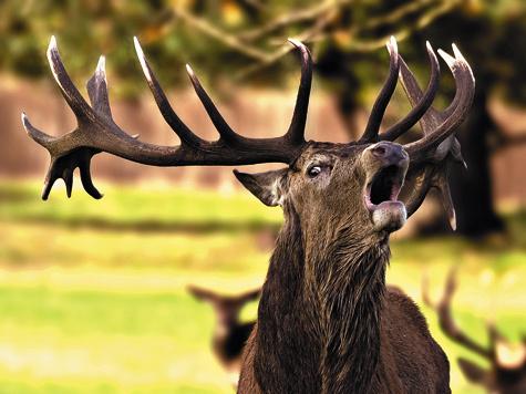ФОТО SHUTTERSTOCK.COM Взрослые самцы благородного оленя всентябре активно участвуют вгоне, ина этом строится знаменитая «охота нареву».