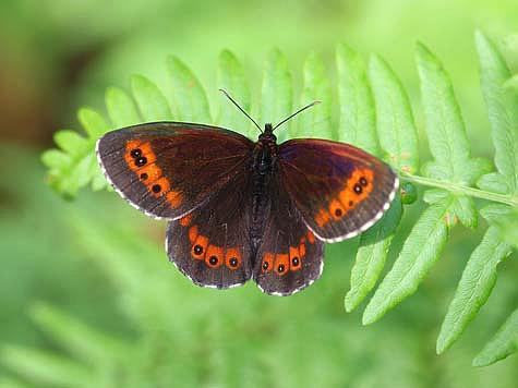 Дневные Бабочки. Бархатницы, Белянки, Голубянки