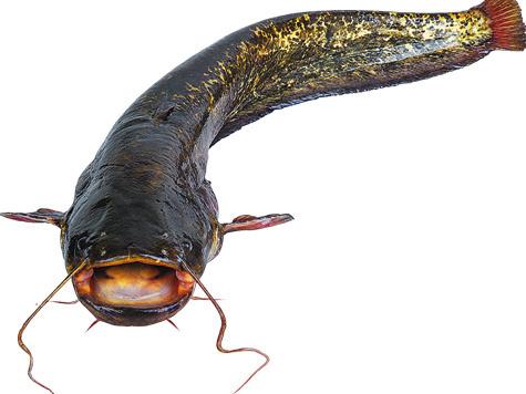 Внешне сом очень похож наналима, ноу него более широкая иплоская голова сявно выдающейся вперед нижней челюстью.