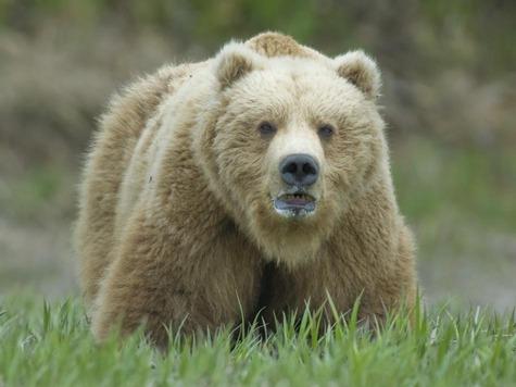 Медведь – очень серьезный трофей, сильный и опасный зверь.
