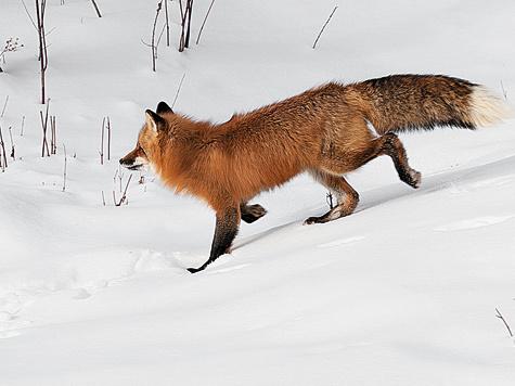 Тонкий слух иострое зрение помогают лисице избежать опасности.