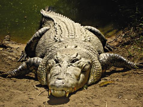 Гребнистые крокодилы могут жить 50–60 лет. Они растут втечение всей жизни, однако достигают «взрослых размеров» уже впервые  10–15 лет.