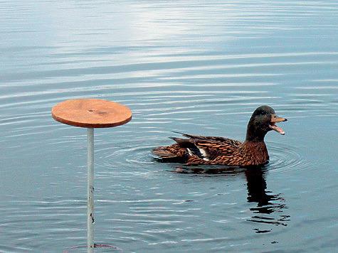 Русская подсадная утка: четыре разновидности