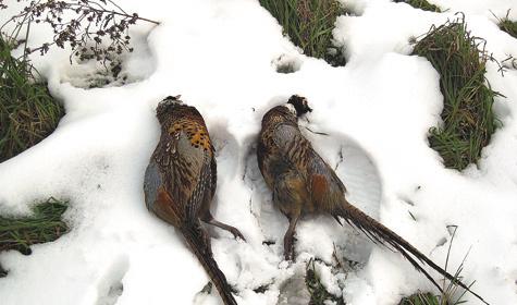 Охота с легавой на фазана охотнее, чем